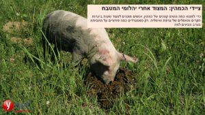 קיבוץ להב | חזירים עובדים את האדמה כדי להשיג פטריות כמהין
