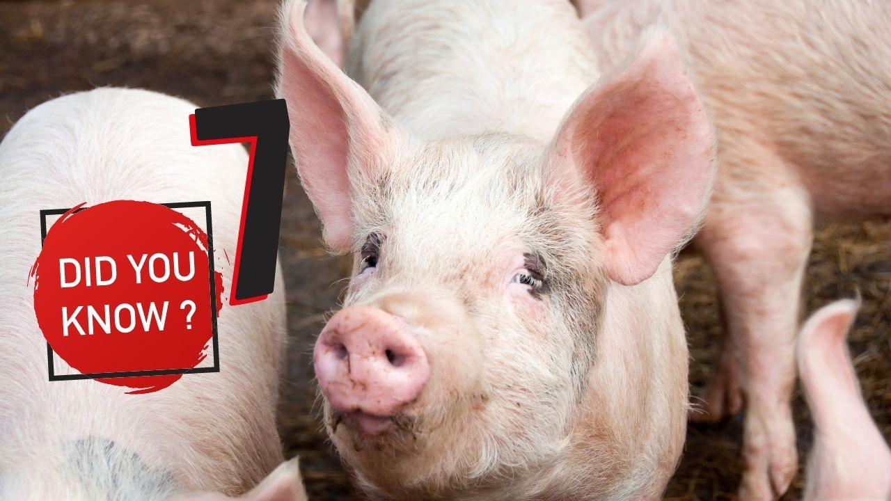 7 דברים שלא ידעתם על חזירים | קיבוץ להב