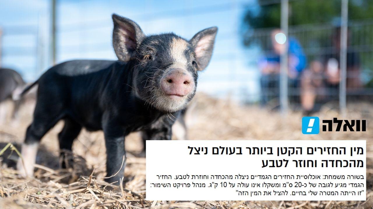 Read more about the article וואלה | קיבוץ להב | חזירים בסכנת הכחדה ניצלו